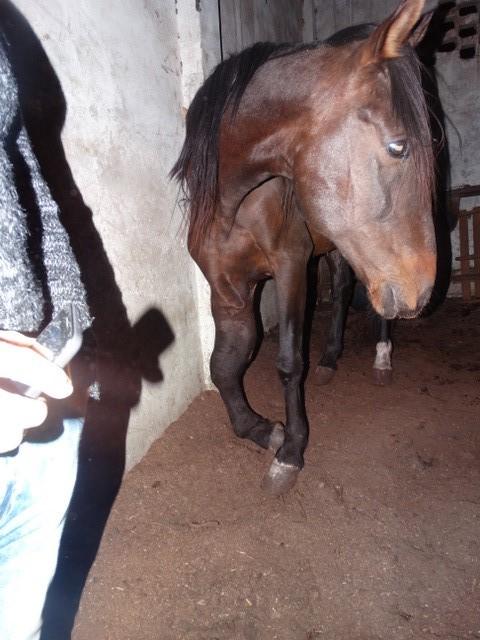 caballo con pata rot